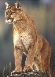 Photograph of a Mountain Lion